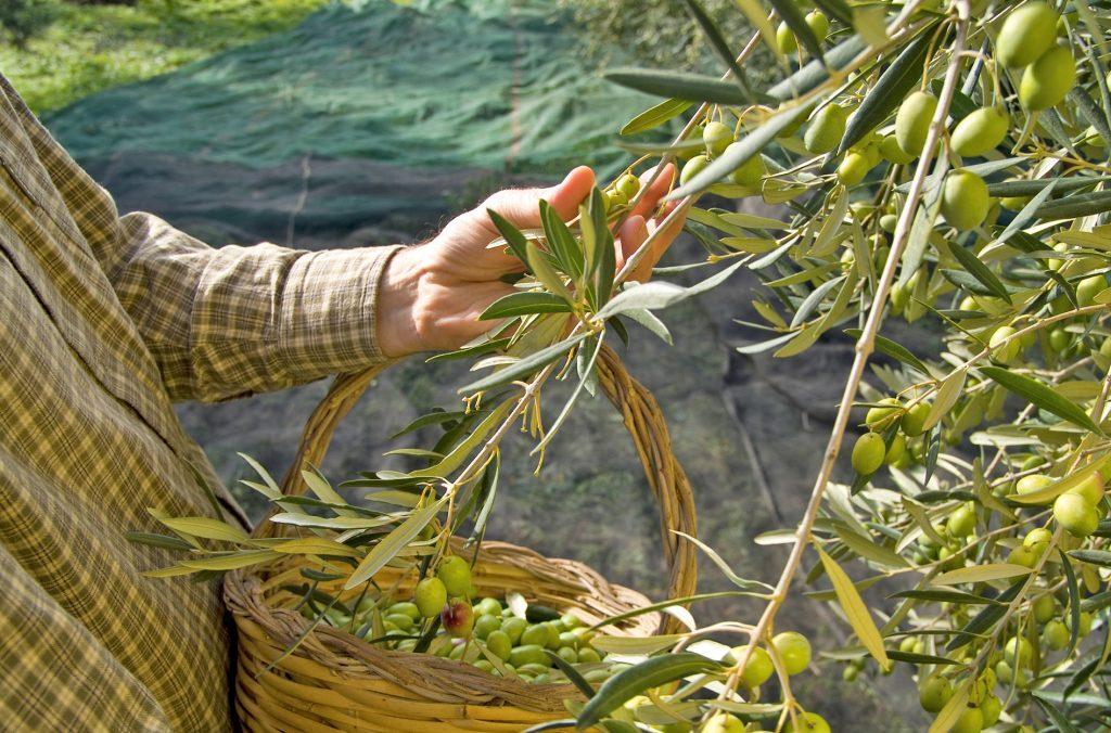 Aljaoliva trazabilidad olivas aceite de oliva virgen extra