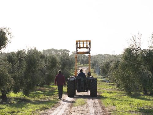 El Verdeo Campo olivos tractor Aljaoliva