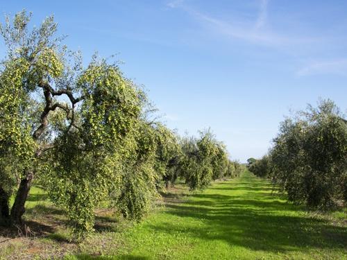 El Verdeo Campo olivos Aljaoliva
